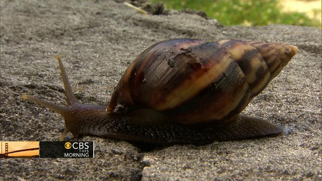 Giant snails invade Fla., threaten homes and humans