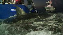 Shark Tracking Data Made Available Online