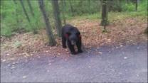 Connecticut Hiker's Close Encounter With a Pair of Black Bears