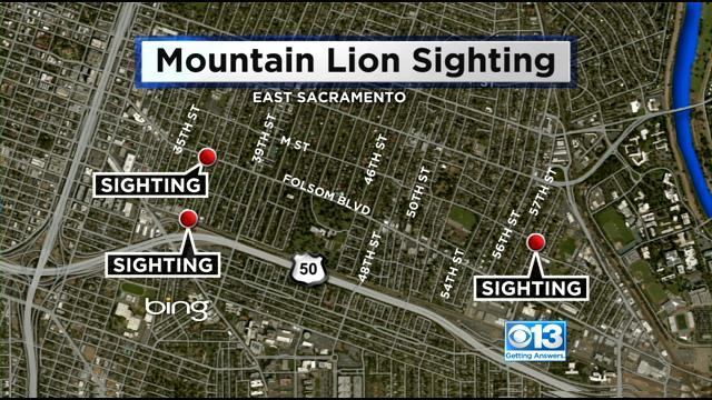 Mountain Lion Sightings Prompt Police To Send Alert To East Sac Residents