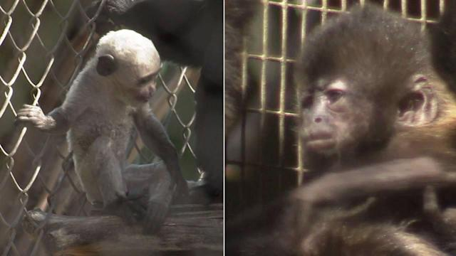 Santa Ana Zoo welcomes 2 baby monkeys