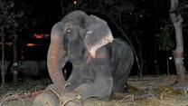 Elephant in India Rescued After 50 Years of Being Shackled and Abused