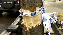 UWS Residents Upset After Towering Tree Is Stripped Of Bark