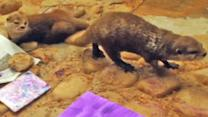 Otter artists paint pictures at Florida zoo