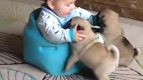 Baby adorably plays with two pug puppies