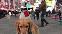 Fritz the Food-Catching Golden Visits Times Square