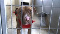 Pit bulls in unincorporated Riverside County must be neutered, spayed