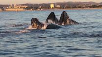 Rush of humpback whales appear in Monterey Bay