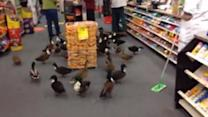 50 Duck Flock Invade Store