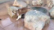 Siberian Husky puppy gets a wet surprise