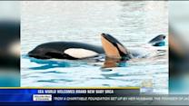 Sea World welcomes brand new baby orca