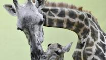 Raw: Giraffe Gives Birth to 18th Calf