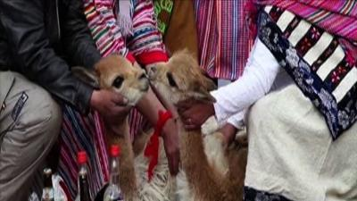 Vicunas Married in Traditional Peruvian Festival