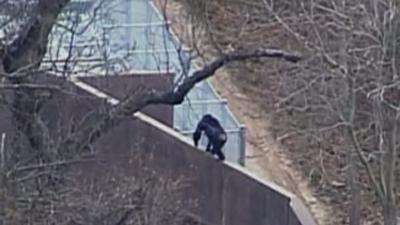 Chimps on Loose at Kansas City Zoo
