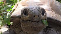 Raw Video: Huge New Bronx Zoo Tortoises