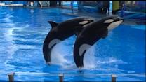 Controversy Ignites As SeaWorld Tries To Build Bigger Tanks for Its Killer Whales