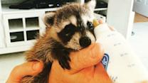 Meet Pumpkin The Raccoon