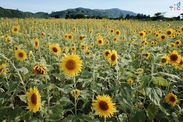 洄瀾灣開心農場每年都會舉辦免費採花活動,吸引眾多遊客前來參與。
