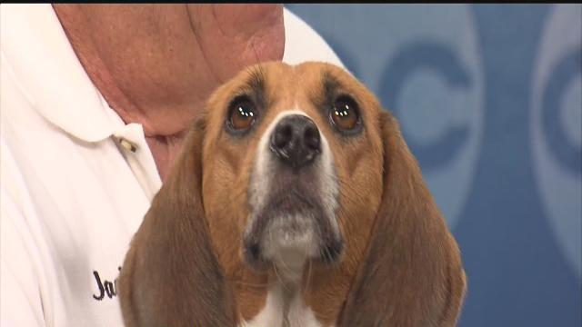 Rescues in Action: Meet EmmyLou from Southeast Beagle Rescue