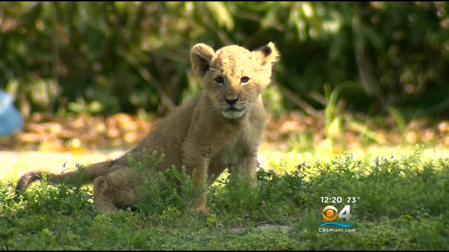 Cute Lion Cub Makes Debut At ZooMiami