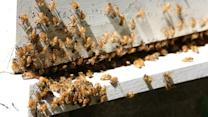 U.S. Honeybee Disappearance Worsens