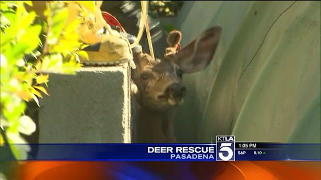 Trapped Deer Rescued From Pasadena Backyard