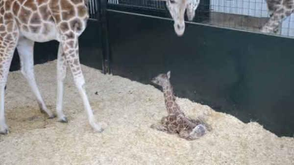Endangered giraffe born at Connecticut conservation site