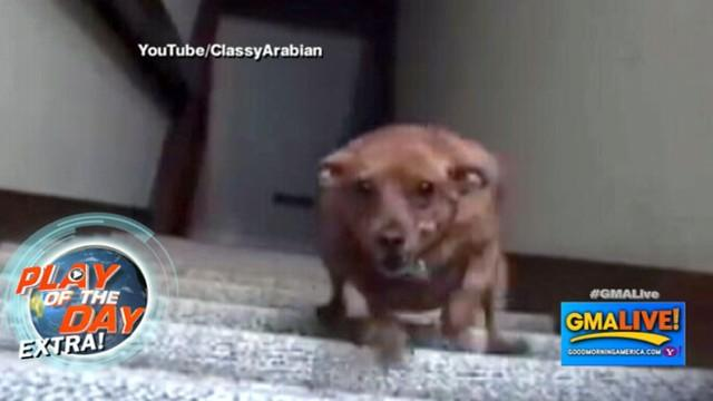 Little Dog's Speedy Run Down Stairs; Puppy Wants to Play