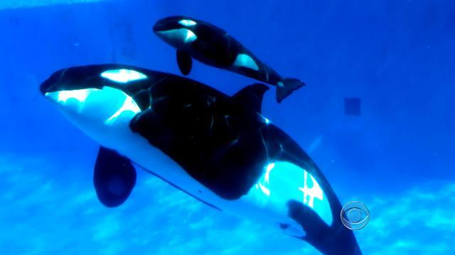Sea World welcomes newborn baby orca whale