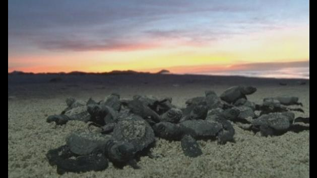 Cute turtle hatchlings race to the sea in Oaxaca, Mexico