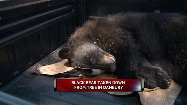 Bear Spotted in Connecticut Town