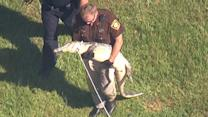 Raw: Alligator Found Outside TX School