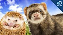 The Cutest Exotic Pets You Can't Own - Discovery News