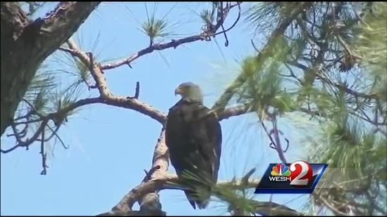 Bald eaglets rescued after fall from tree