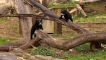 Bear cubs tumble for the media