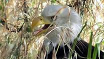 Ranger helps distressed bald eagle in Marin Co.