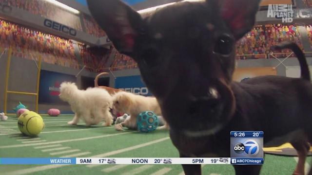 2 Chicago pups to start in Animal Planet's 10th annual Puppy Bowl