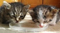 Pair of tiny kittens drink water for first time