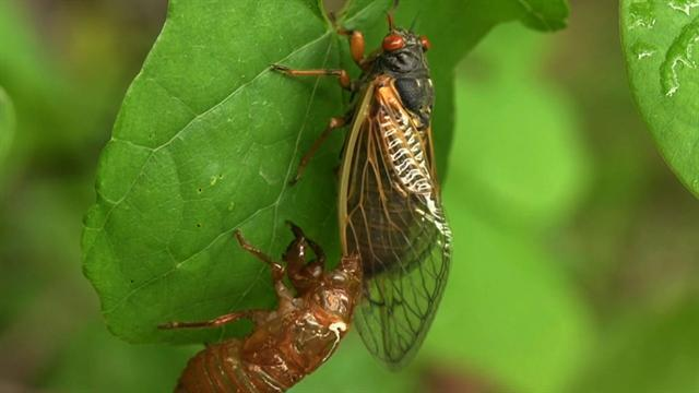 Cicadas: Making noise and love