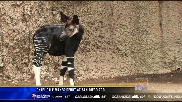 Okapi calf makes debut at San Diego Zoo