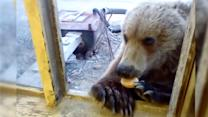 Russian Workers Feed Wild Bear Biscuits