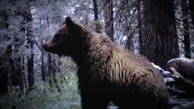 Four Injured in 2 Separate Bear Attacks in Idaho