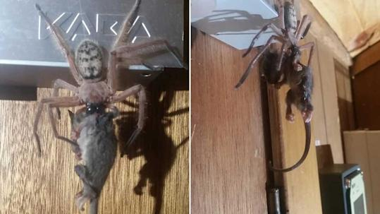 This Giant Spider Literally Ate a Possum and the Photos Will Haunt