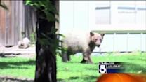 Wayward Bear Gives SoCal Residents a Scare