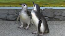 Penguin chicks debut at Aquarium of the Pacific