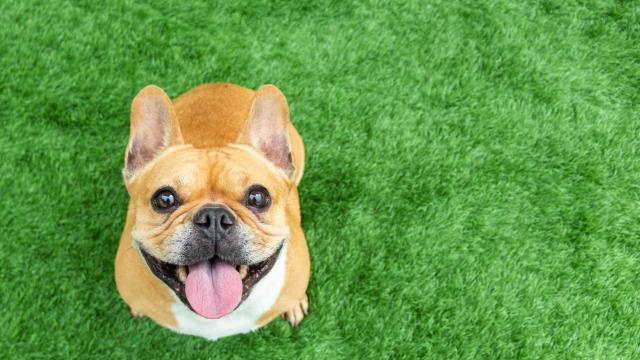 English Bulldog Dog Purse Organizer Purse Convert-A-Bag Sectional Bag