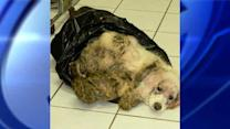 Couple arrested for severely neglecting dog