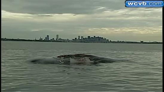 Scientists to determine how whale off Deer Island died
