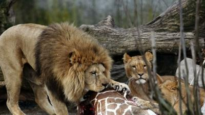 Denmark Zoo Faces Backlash Over Killing Giraffe