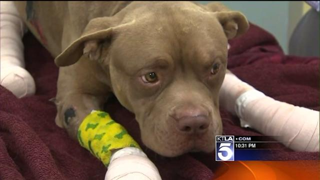 Dog Makes Full Recovery After Being Strapped With Fireworks, Set Ablaze